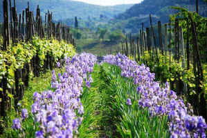 Irises in San Polo in Chianti